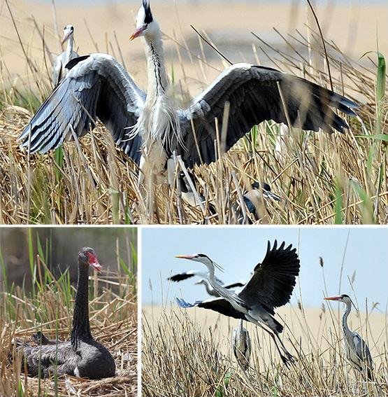 观鸟正当时:第五届(中国•宁夏)沙湖国际观鸟节即将开幕