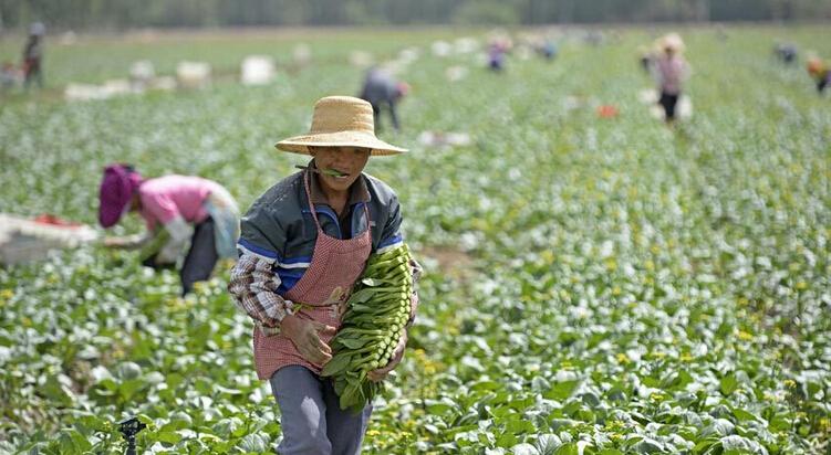 供港蔬菜采摘工:万里辗转,他乡致富
