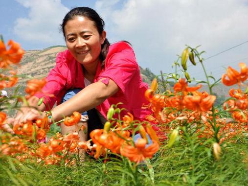 兰州百合:走西部特色保健生态农业之路