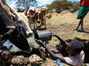 肯尼亚遭遇严重干旱