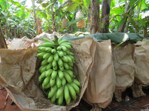 170426香蕉图片 (9)