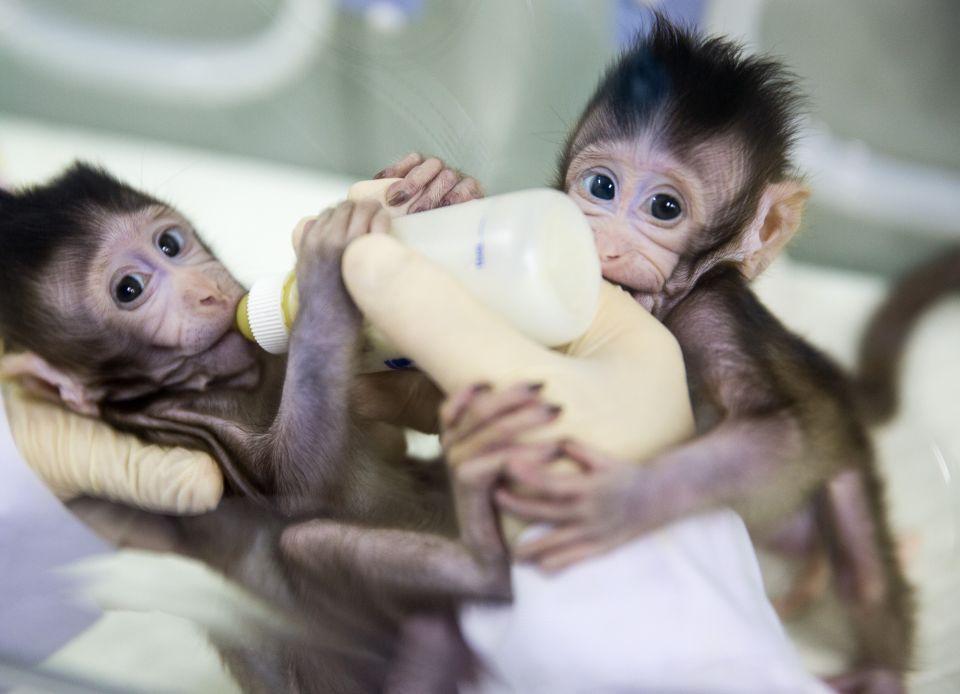 """克隆猴""""中中""""和""""华华""""在中科院神经科学研究所非人灵长类平台育婴室的恒温箱里(2018年1月22日摄)。新华社记者金立旺摄"""