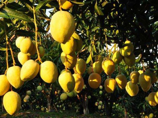 中国云南三个优质芒果品种获国内外专家青睐
