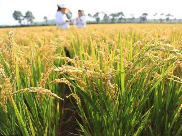 2018年全国早稻产量2859万吨 比去年减产128万吨