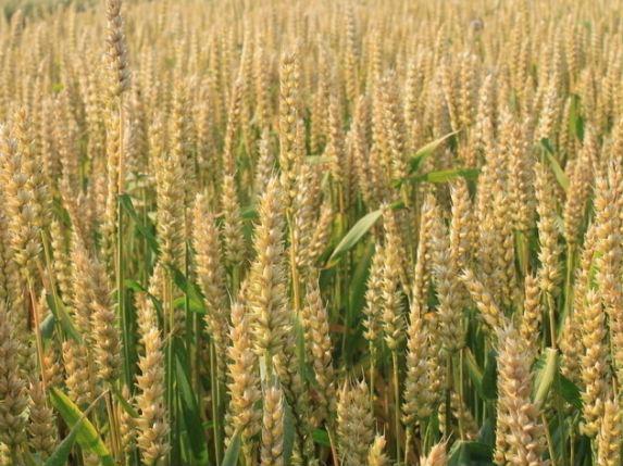 哈萨克斯坦将向中国市场供应大麦和玉米