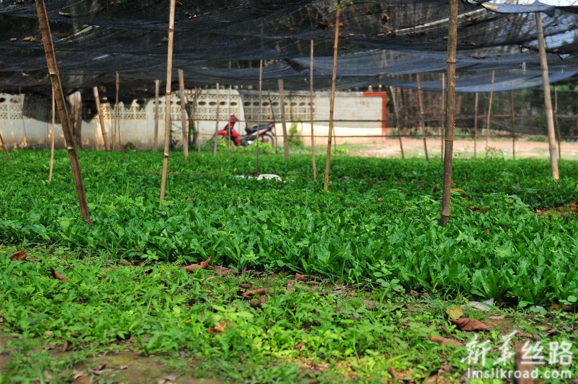 2月28日在老挝首都万象北部的金花村拍摄的村民们种植的蔬菜。新华社记者 章建华 摄