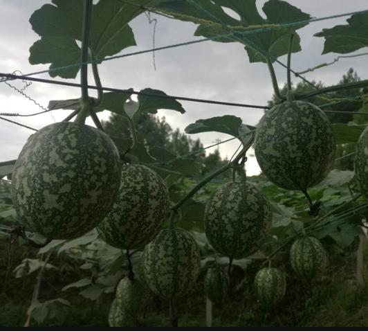 金凤区干部职工线上线下吆喝卖瓜