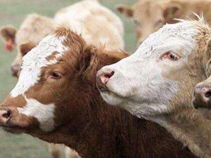 巴西因疯牛病暂停对华出口牛肉