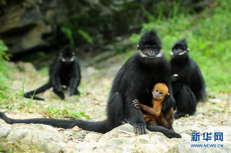 在贵州沿河麻阳河国家级自然保护区生活的黑叶猴及幼崽(2018年5月17日摄)。新华社记者 杨文斌 摄