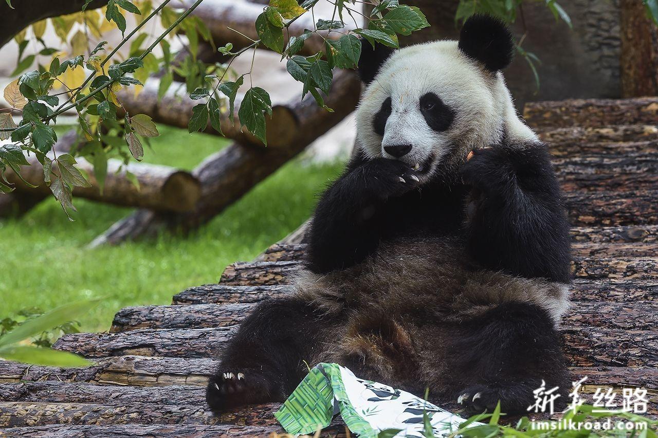 """7月31日,在俄罗斯首都莫斯科,大熊猫""""丁丁""""享用工作人员为它准备的胡萝卜。新华社发(叶甫盖尼·西尼岑摄)"""