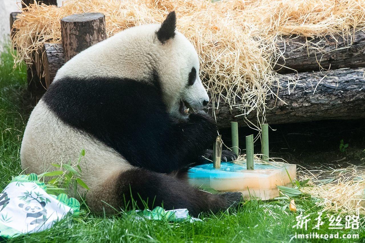 """7月31日,在俄罗斯首都莫斯科,大熊猫""""如意""""享用工作人员为它准备的""""生日蛋糕""""。新华社发(叶甫盖尼·西尼岑摄)"""