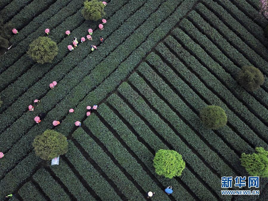 游客在贵州省遵义市湄潭县核桃坝村体验采茶(2018年4月1日无人机拍摄)。新华社记者 杨文斌 摄