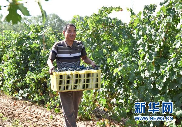 宁夏银川:葡萄酒酿造体验乐趣浓