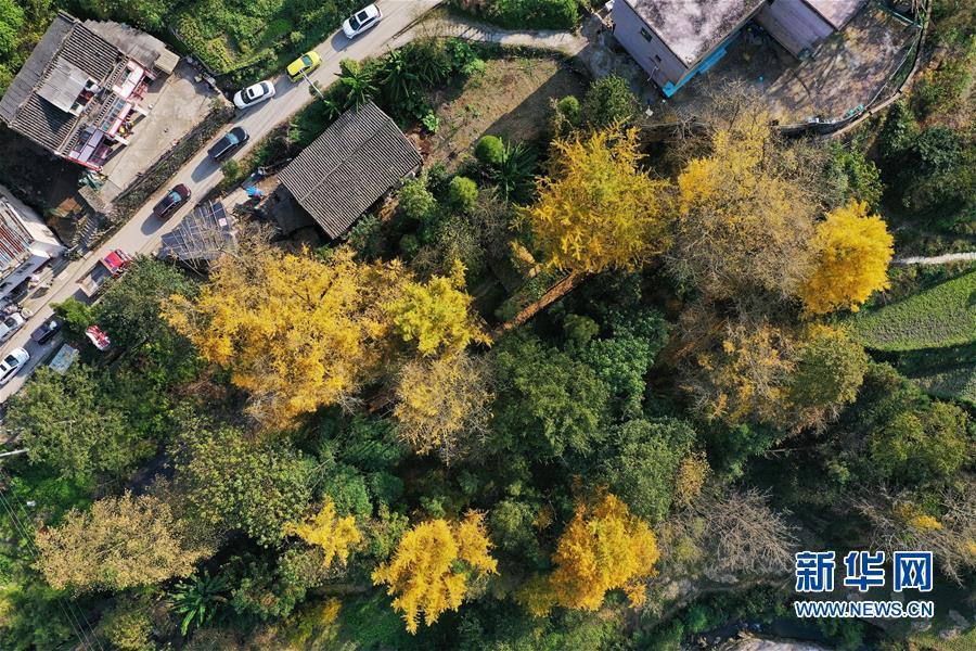 11月15日无人机拍摄的黄连村内的银杏树。新华社记者 刘续 摄