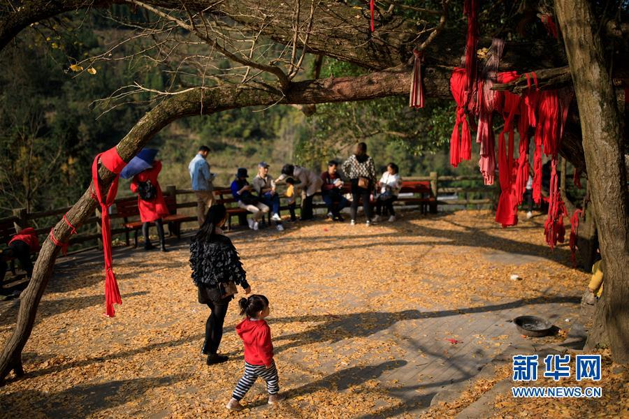 11月15日,游客在黄连村内观赏银杏树。  新华社记者 刘续 摄