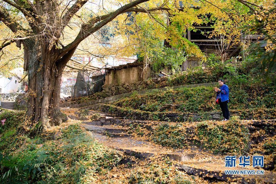 11月15日,游客在黄连村内观赏银杏树。初冬时节,贵阳市乌当区黄连村内的银杏满树金黄,片片落叶随风飘舞,美丽的景观吸引了不少市民和游客前来观赏。 新华社记者 刘续 摄