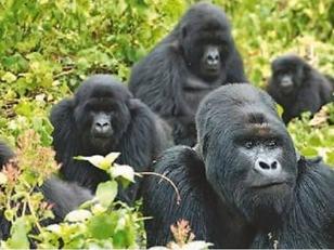 """到卢旺达国家公园追""""猩"""""""
