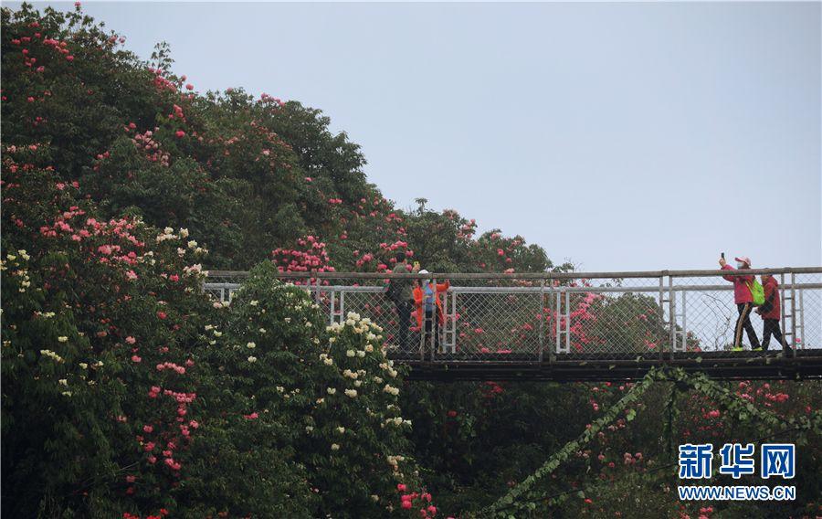 3月28日,游人在贵州百里杜鹃金坡景区赏花游玩。新华网 卢志佳 摄
