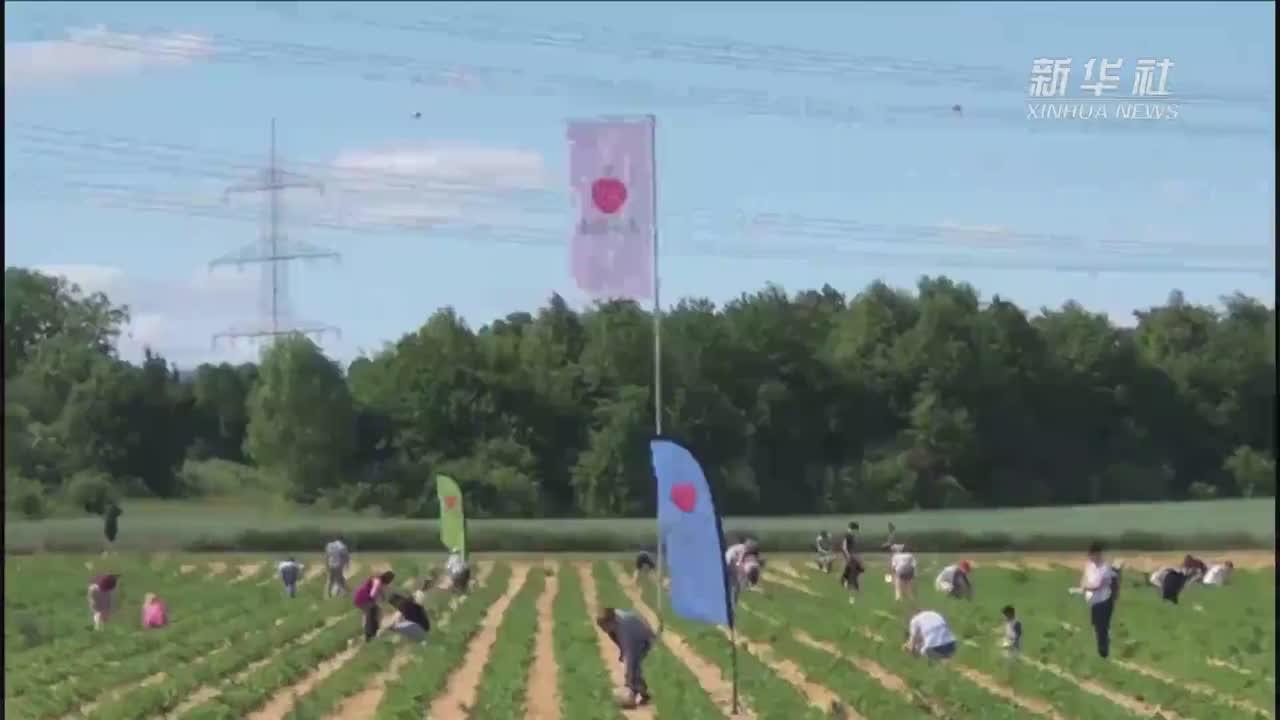 德国:草莓地里采摘忙