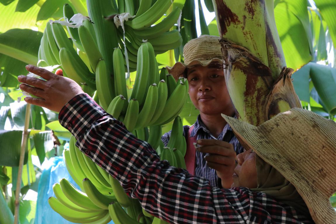 中企在柬建设的农业合作示范区迎来发展良机