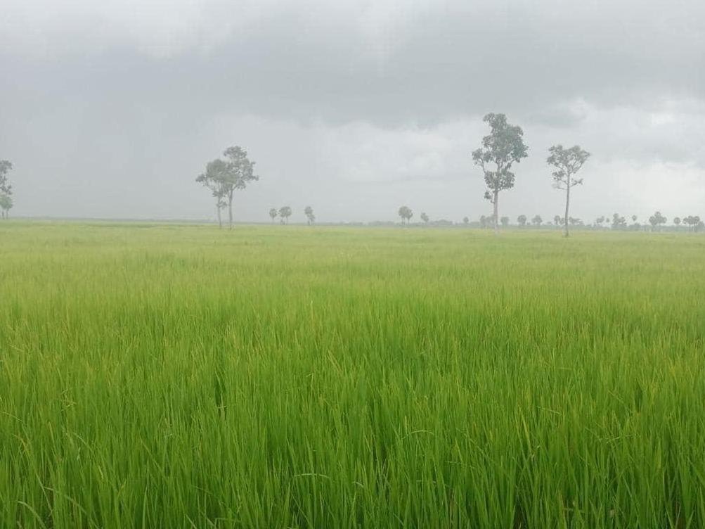 柬埔寨多措并举全面扩大水稻种植面积