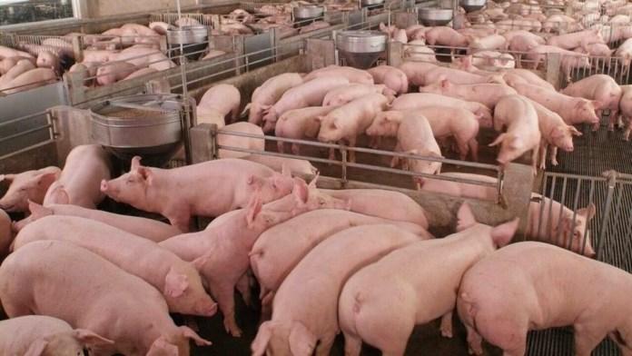 泰国正大41亿美元扩大在中国的猪事业部