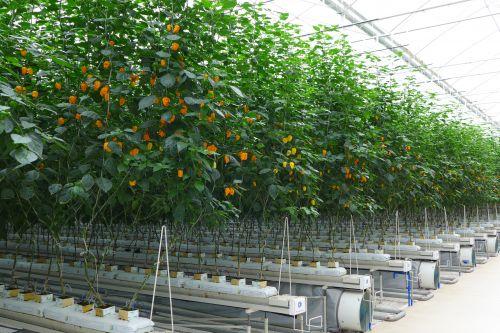 海南陵水现代农业示范基地里沿着吊蔓生长的黄灯笼辣椒