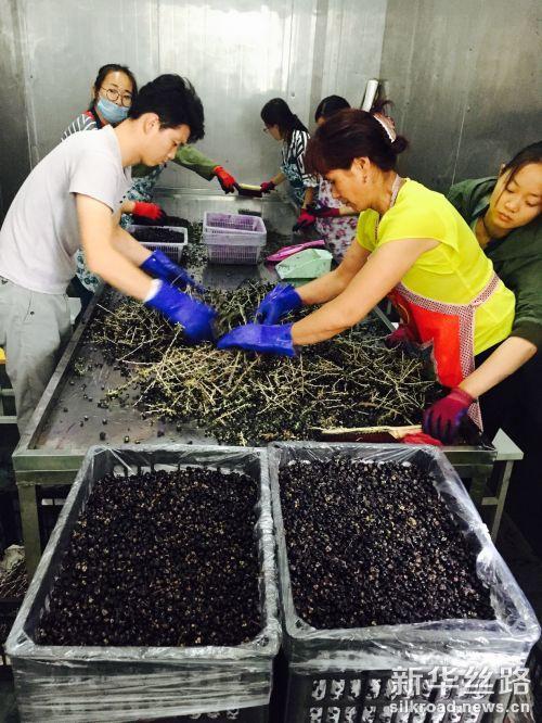 图为 公司雇佣的农户在对采摘的黑枸杞进行初步处理