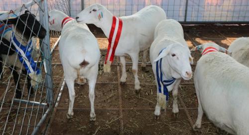 """小尾羊牧业展区的肉羊种羊""""万瑞""""和""""澳洲白"""""""