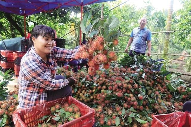 红毛丹是近年来保亭黎族苗族自治县大力发展的特色产业    黄青文 摄.webp