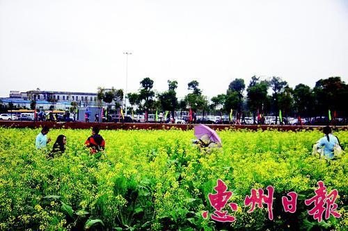 今年1月举行的博罗县第八届福田菜心旅游节吸引众多游人。