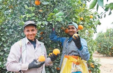 2017年埃及对华出口鲜橙达10.1万吨 成为中国鲜橙进口第三大来源地