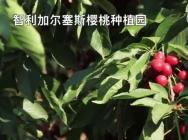 智利出口樱桃的近84%来了中国