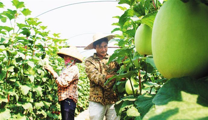 乐东发展热带高效农业促农增收。林东 摄
