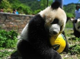 """大熊猫也来""""踢足球""""?这场""""世界杯""""萌萌哒"""