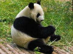 丝路微记录:熊猫来了