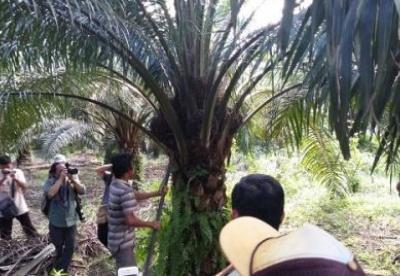 印尼如何领导棕榈油可持续发展