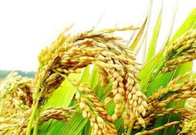 中国杂交水稻创布隆迪高产纪录