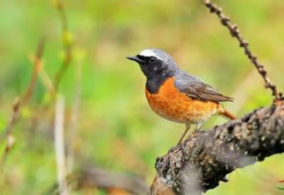 """新疆喀纳斯景区""""哺育""""118种鸟类"""