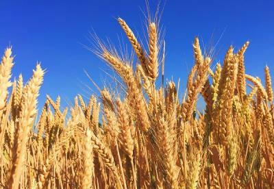 韩国:加拿大小麦及面粉进口时需检查是否混入未批准转基因小麦