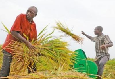 通讯:种植中国杂交水稻改变布隆迪农民生活