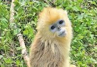在神农架探访川金丝猴