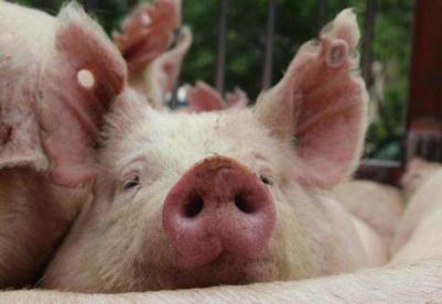 乌克兰猪肉产量减少