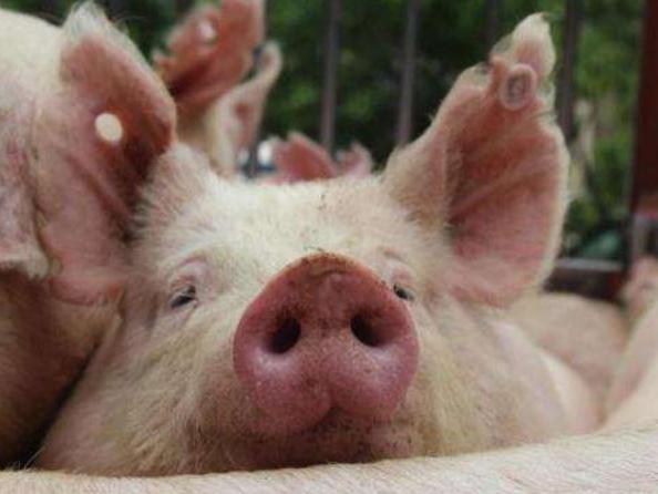 香港查出非洲猪瘟病毒感染 13日起销毁6000只生猪