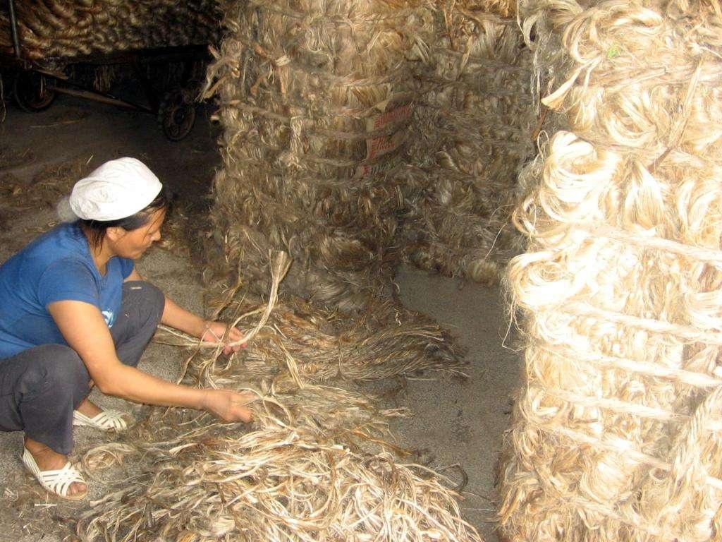 孟加拉黄麻行业原材料短缺