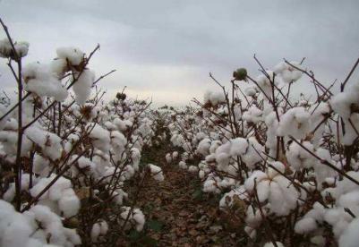 2019年乍得棉花产量预计将达2.5万吨