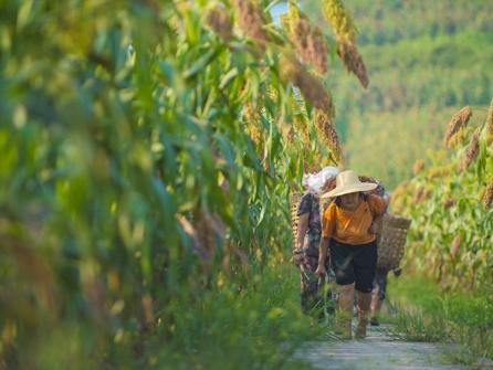 """泸州""""高粱红了"""" 山区农户脸笑了"""
