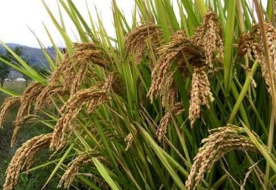 综述:中国杂交水稻助非洲改善粮食问题