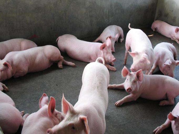 生猪生产恢复势头明显  分区防控不会推动猪价上涨——农业农村部有关负责人谈生猪生产和非洲猪瘟防控相关问题