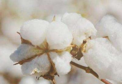 2019年全国棉花产量小幅下降